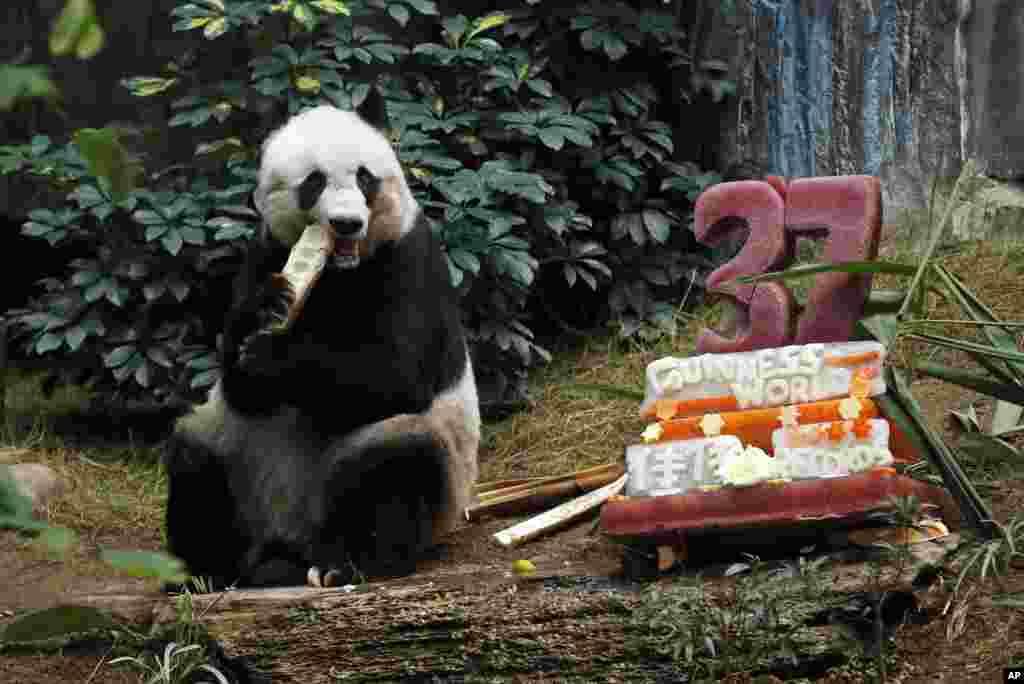 香港海洋公园: 大熊猫佳佳吃竹子。旁边是冰激凌和蔬菜做成的生日蛋糕,庆祝她的37岁生日 (2015年7月28日)