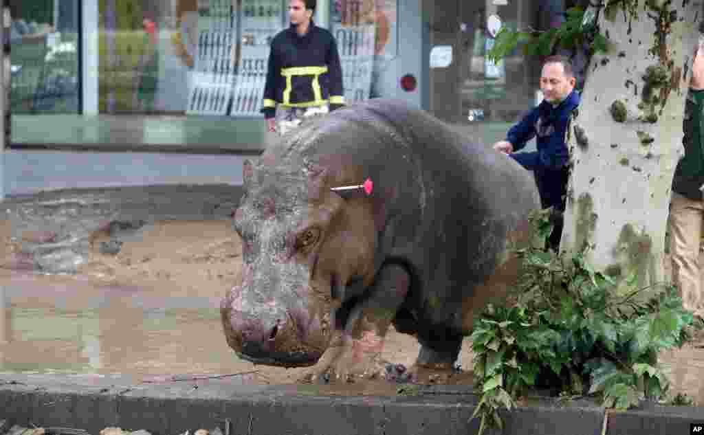 جاری شدن سیلاب و تخریب دیوار های محافظتی یک باغ وحش در شهر تبلیسی گرجستان سبب فرار حیوانات شد، پولیس برای دستگیری حیوانات از تیر های حاوی مواد بی حس کننده استفاده کرد.