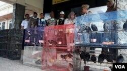 Ratusan burung asal Kalimantan Timur yang akan diselundupkan disita oleh petugas di Surabaya (foto: Petrus Riski/VOA).