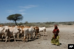Springs are drying out from the drought in Southern Ethiopia forcing pastoralists to push their cattle long distances for scarce resources.