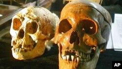 Tengkorak spesies Homo floresiensis berusia 18.000 tahun (kiri) disandingkan dengan tengkorak manusia normal pada konferensi pers di Yogyakarta, 2004.