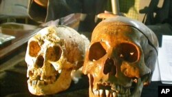 FILE - The skull, left, of a newly discovered 18,000-year-old species, known as Homo floresiensis, is displayed next to a normal human's skull, right, at a news conference in Yogyakarta, Indonesia Friday, Nov. 5, 2004.