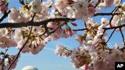 美國首都華盛頓櫻花盛開