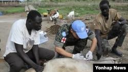 아프리카 남수단 재건지원단으로 파병된 한국 한빛부대 수의장교가 보르시 아피르 마을의 가축들에 대한 수의진료를 실시하고 있다.
