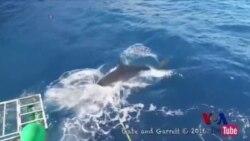 """香港男子与大白鲨""""擦肩而过"""""""