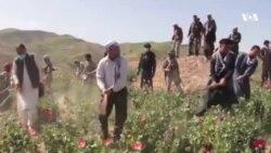 پولیس بدخشان: حضور طالبان سبب کُندی تخریب مزارع کوکنار شده است