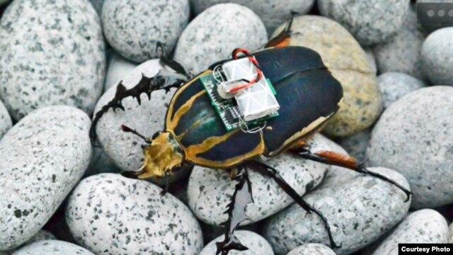 Một con gián có gắn một máy phát tín hiệu vô tuyến (Ảnh: Tat Thang Vo Doan và Hirotaka Sato/NTU Singapore)