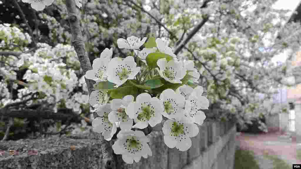 بهار لنگرود در استان گیلان عکس: افسانه آرین پور (ارسالی شما)