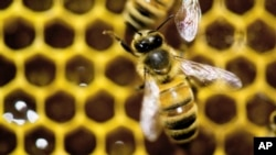 "FILE - Bees are ""losing ground,"" one specialist warns."
