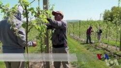 美国加强移民执法 宾州农场主担心劳动力不足