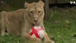 Sư tử ở London 'vờn' bóng dịp World Cup