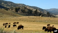 A herd of bison grazes in the Lamar Valley of Yellowstone National Park in Wyoming.