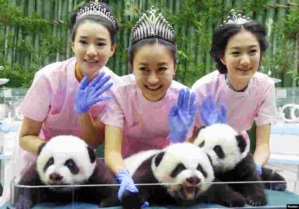 Winners of a Miss Chinese contest -- from left, He Wenqian, Liu Zhongqing and Yang Xue -- pose with giant panda triplets at the Chimelong Safari Park in Guangzhou, Guangdong province Oct. 27, 2014.