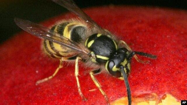 Emerald jewel wasp, serangga penyengat yang memangsa kecoa, mengeluarkan sekresi ke seluruh bagian dalam tubuh kecoa, dan inilah cara membersihkan kecoa inangnya dari mikroba (foto: dok).