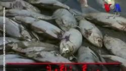 مرگ ناگهانی دهها هزار ماهی در استرالیا