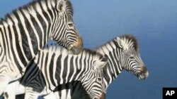 The government has 'dumped' zebras at the Manzou Farm in Mashonaland Central province.