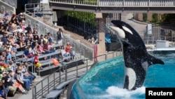 Para pengunjung menyaksikan pertunjukan Orca, di SeaWorld, San Diego, California 19 Maret 2014 (Foto: dok).