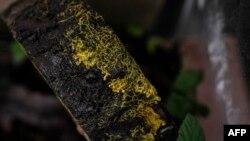 Foto yang dirilis Parc Zoologique de Paris menunjukkan Physarum Polycephalum atau yang dikenal dengan nama 'Blob.' Blob adalah organisme sel tunggal yang bukan tanaman, jamur, atau hewan dan mampu belajar meski tidak punya sel saraf. (Foto: AFP)