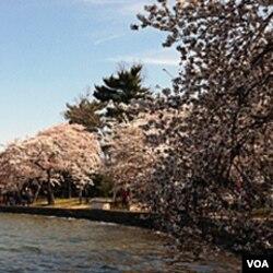 Bunga Sakura di kolam Tidal Basin, Washington DC