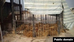 شرایط نگهداری شیرها در سیرک قشم