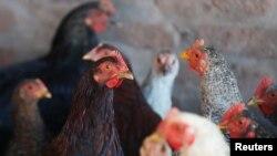 Benarkah ayam-ayam yang dikembangbiakkan secara tradisional rasanya lebih enak dan tidak membahayakan kesehatan? (Foto: ilustrasi).