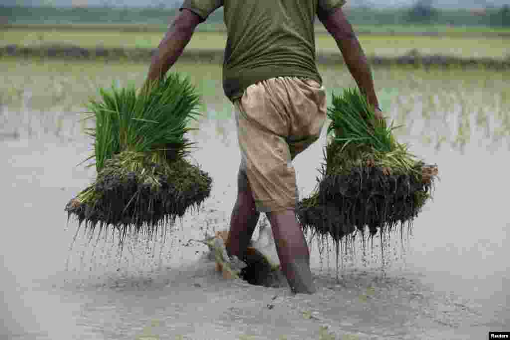 A farmer carries bundles of rice seedlings to be planted, on the outskirts of Lahore, Pakistan.