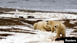 FILE - A polar bear and two cubs are seen on the Beaufort Sea coast in a portion of the Arctic National Wildlife Refuge in this undated photo provided by the U.S. Fish and Wildlife Service.