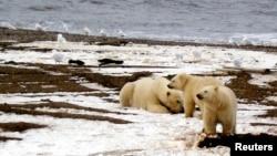 Những con gấu bắc cực ở bờ biển Beaufort thuộc khu vực 1002 trong khu Trú ẩn Hoang dã Quốc gia Bắc Cực.