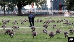 A woman walks in a park near the river Rhine between a flock of Canada geese in Duesseldorf, Germany, Tuesday, Sept. 8, 2020.