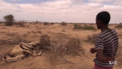Even Camels Dying in Somali Drought