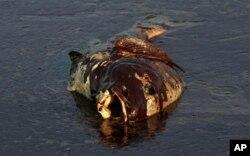 Derrames de petróleo contribuem para a destruição da fauna marinha, o que põe em causa a actividade dos pescadores (foto de arquivo)