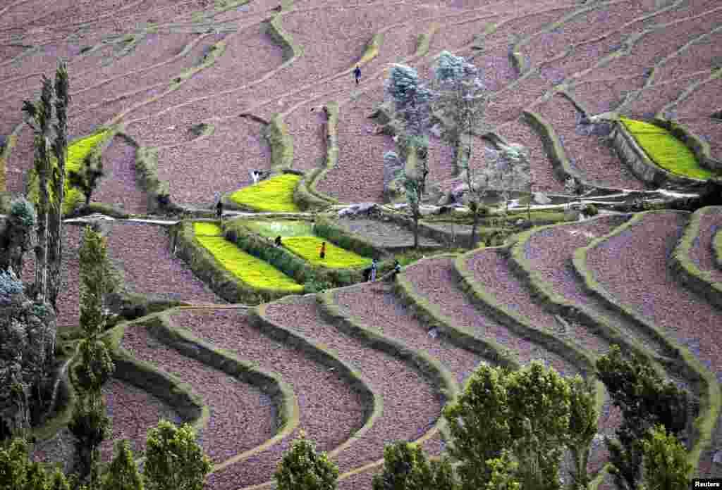 Kashmiri farmers work in paddy fields at Bandipora, north of Srinagar, India.