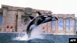Sea World duyệt lại các biện pháp an toàn sau vụ cá voi giết người