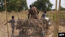 Một nông dân Nigeria chở lúa vừa thu hoạch về nhà