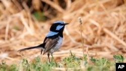 "This photo provided by Jessica McLachlan shows a fairy-wren. Scientists have discovered that birds can learn to recognize alarm calls of other species, essentially by learning to eavesdrop in a second language. The Australian songbird called the fairy wren isn't born knowing other birds' chirps, but it can learn to recognize a few ""words."" In a paper published Thursday, Aug. 2, 2018, in the journal Current Biology, scientists explained how they taught the birds the distress calls of other species. (Jessica McLachlan)"