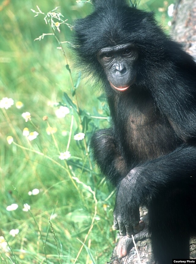 Bonobos and chimpanzees are both the closest ancestors and living relatives of humans.(Michael Seres)