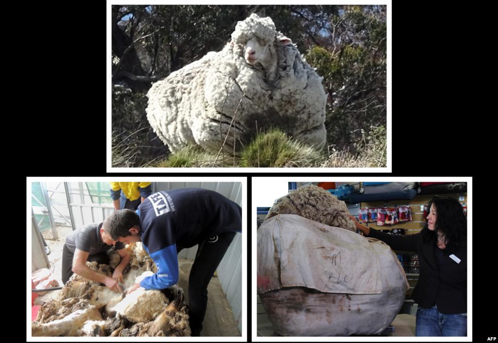 "Foto (bawah) dirilis oleh RSPCA menunjukkan 40,45 kg wol yang dicukur dari seekor domba wol raksasa ditimbang di pinggiran Canberra sehari setelah petugas pusat penampungan hewan Australia meminta pencukur domba untuk mencukur bulunya. Domba gondrong itu ditemukan dan dikhawatirkan nyawanya terancam. Ia akhirnya dicukur oleh pencukur domba handal Australia ""Australian Shearers' Hall of Famer"" Ian Elkins dalam proses sepanjang 42 menit yang ia gambarkan sebagai sebuah ""tantangan berat""."