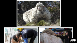 Rekor dunia baru sebanyak 40,45 kilogram berhasil dikumpulkan dari domba yang ditemukan di semak belukar di pinggiran Canberra, Australia.