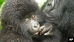 One of the name recipients, a male mountain gorilla born June 11, 2010, on the slopes of the Sabyinyo Volcano in Rwanda
