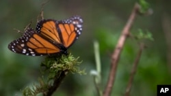 An ailing butterfly rests on a plant at the monarch butterfly reserve in Piedra Herrada, Mexico State, Mexico, Nov. 12, 2015.