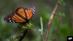 FILE - An ailing butterfly rests on a plant at the monarch butterfly reserve in Piedra Herrada, Mexico State, Mexico, Nov. 12, 2015.