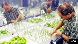 Bertani dengan cara hidroponik tidak memerlukan tanah, namun produktivitasnya jauh melebihi pertanian tradisional (foto: dok).