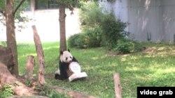 华盛顿史密森尼国家动物园为大熊猫添添庆祝21岁生日。
