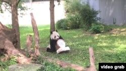 華盛頓史密森尼國家動物園為大熊貓添添慶祝21歲生日。