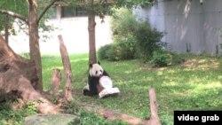 華盛頓國家動物園為大熊貓添添慶祝21歲生日