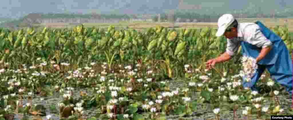 農家荷塘:旅遊一景(花蓮縣政府農業處提供)