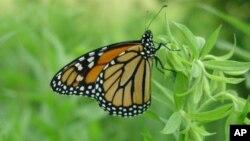 La compañía agrícola Monsanto donó parte de los fondos para la recuperación del hábitat de las mariposas monarca.