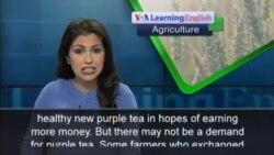 Low Prices Cause Kenyan Farmers to Change Tea Crop