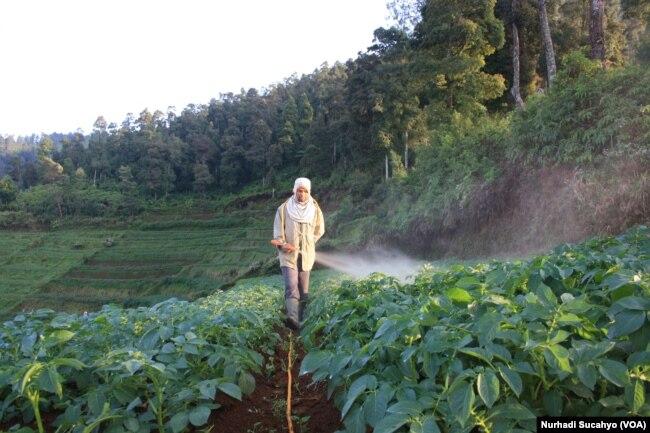 Seorang Petani di Dataran Tinggi Dieng Menyemprot Tanaman Kentang (foto: VOA/Nurhadi Sucahyo)