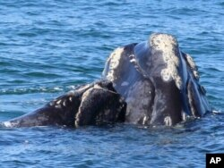 FILE - This Georgia Department of Natural Resources photo shows a North Atlantic right whale mother and calf in waters near Cumberland Island, Ga., March 11, 2021.